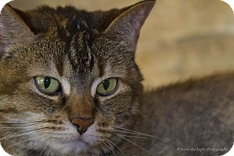 Domestic Shorthair Cat for adoption in Bulverde, Texas - Rollo