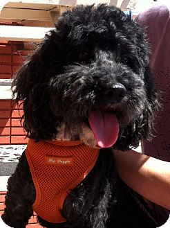 Poodle (Miniature)/Bichon Frise Mix Dog for adoption in Van Nuys, California - Calvin Klein