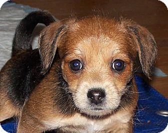 Beagle/Jack Russell Terrier Mix Puppy for adoption in La Habra Heights, California - Pebbles