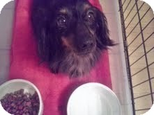 Dachshund Dog for adoption in Coeburn, Virginia - Weasel