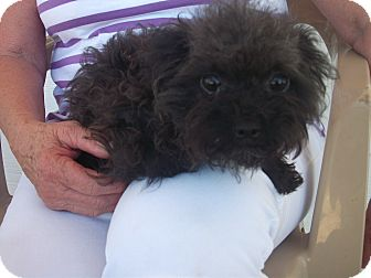 Poodle (Toy or Tea Cup)/Yorkie, Yorkshire Terrier Mix Dog for adoption in Stockton, California - **OLIVIA**