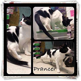Domestic Shorthair Kitten for adoption in Union, New Jersey - Prancer