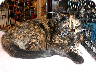 Calico Cat for adoption in College Station, Texas - Sassy