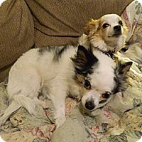 Adopt A Pet :: Bonita - Colorado Springs, CO