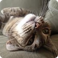 American Shorthair Cat for adoption in New York, New York - Cosita