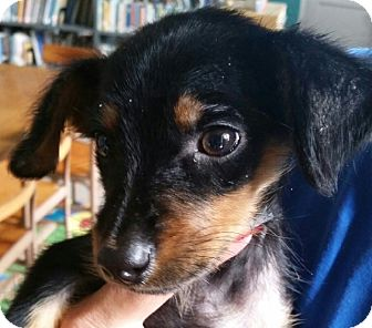 Dachshund Puppy for adoption in Cranford, New Jersey - Lucky