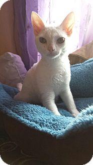 Devon Rex Kitten for adoption in Huntley, Illinois - Cricket