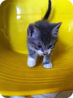 American Shorthair Kitten for adoption in Los Angeles, California - Nilla Wafers Nelson