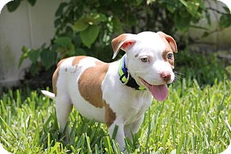American Bulldog/Hound (Unknown Type) Mix Puppy for adoption in Ft. Myers, Florida - Lee