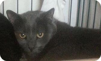 Domestic Shorthair Cat for adoption in Divide, Colorado - Squeak