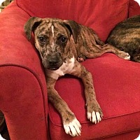Adopt A Pet :: Sonny Liston - Knoxville, TN