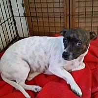 Dachshund/Blue Heeler Mix Dog for adoption in TAHOKA, Texas - TIZZY