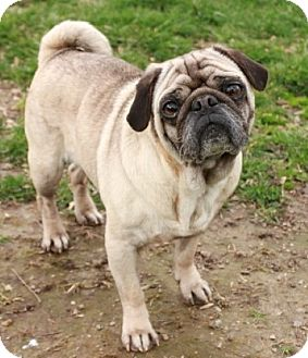 Pug Dog for adoption in Newark, New Jersey - Vinny