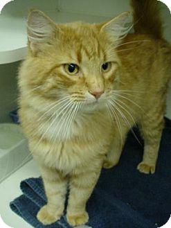 Domestic Mediumhair Cat for adoption in Olympia, Washington - 40984