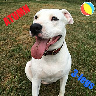 American Pit Bull Terrier Mix Dog for adoption in Greenville, Ohio - Maggie 3 legs