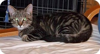 Domestic Shorthair Kitten for adoption in Salem, Oregon - Maserati