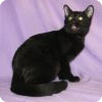 Domestic Mediumhair Cat for adoption in Powell, Ohio - Nyssa