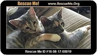 Domestic Shorthair Cat for adoption in Waldorf, Maryland - Pebbles and Nala