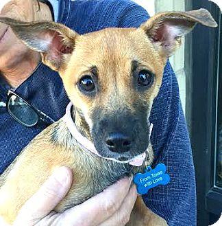Black Mouth Cur/Italian Greyhound Mix Puppy for adoption in Boulder, Colorado - Gabby