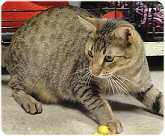 Domestic Shorthair Cat for adoption in Milford, Massachusetts - Colby