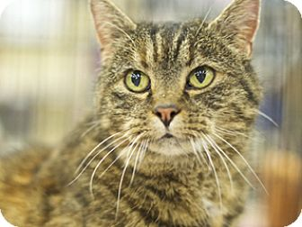 Domestic Shorthair Cat for adoption in Great Falls, Montana - Sheba