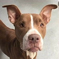 Pit Bull Terrier Mix Dog for adoption in Springdale, Arkansas - Annie