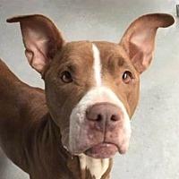 Adopt A Pet :: Annie - Springdale, AR