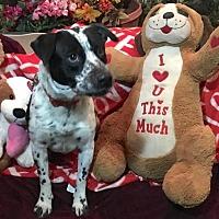 American Staffordshire Terrier Mix Dog for adoption in Toluca Lake, California - Ashton Kutcher