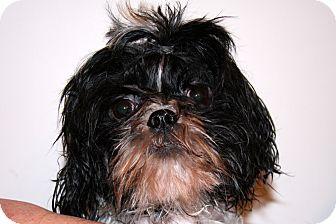 Shih Tzu Mix Dog for adoption in Torrance, California - Harry
