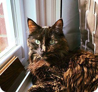 Domestic Mediumhair Cat for adoption in Livonia, Michigan - Marley