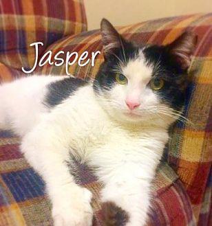 Domestic Mediumhair Cat for adoption in York, Pennsylvania - Jasper