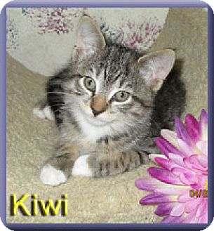 Domestic Shorthair Kitten for adoption in Aldie, Virginia - Kiwi