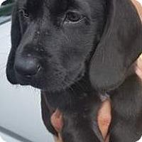 Adopt A Pet :: Diamond - Brattleboro, VT