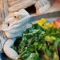 Lizard for adoption in Burlingame, California - Autumn
