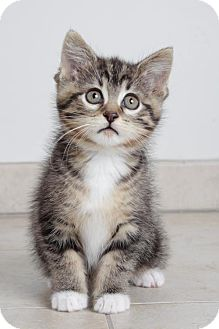 Domestic Shorthair Kitten for adoption in Eden Prairie, Minnesota - Aria C170291:PENDING ADOPTION