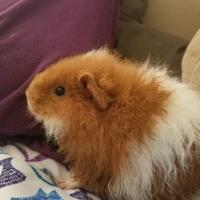 Adopt A Pet :: Annie Sue Pig (bonded with Wilbur Pig) - Redmond, WA