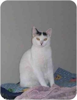 Domestic Shorthair Cat for adoption in Okotoks, Alberta - Tess