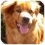 Photo 2 - Golden Retriever/Australian Shepherd Mix Dog for adoption in Marina del Rey, California - Troy