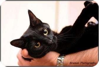 Domestic Shorthair Cat for adoption in Houston, Texas - Denver