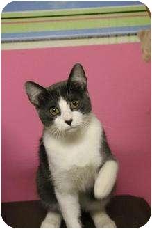 Domestic Shorthair Cat for adoption in Boynton Beach, Florida - Nacho
