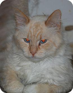 Siamese Cat for adoption in Ogden, Utah - Lucky