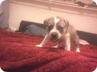 American Staffordshire Terrier Mix Puppy for adoption in palm springs, California - Benno