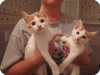 Domestic Shorthair Kitten for adoption in Troy, Ohio - Butterscotch and Carmel