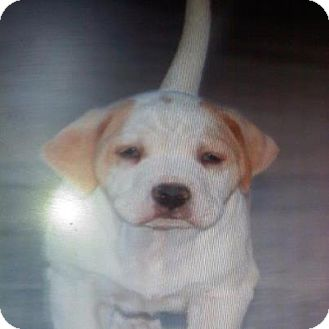 Labrador Retriever Mix Puppy for adoption in Scottsdale, Arizona - Baby Henry