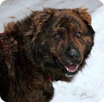 Chow Chow/Mastiff Mix Dog for adoption in Wasilla, Alaska - Boon