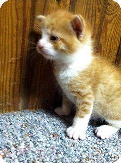 Domestic Shorthair Kitten for adoption in Xenia, Ohio - Ernie, Eva, & Emily - Kittens
