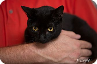 Domestic Shorthair Cat for adoption in St. Louis, Missouri - Easter Lily