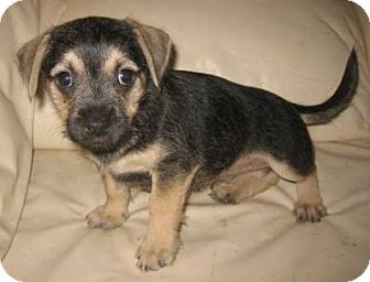 Dachshund/Chihuahua Mix Puppy for adoption in Chandler, Arizona - Sailor