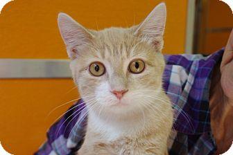 Domestic Shorthair Kitten for adoption in Elyria, Ohio - Easter
