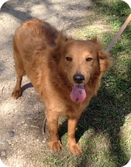 Sheltie, Shetland Sheepdog Mix Dog for adoption in Lockhart, Texas - Lacey
